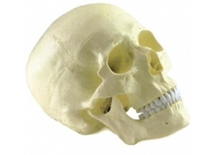 成人头颅骨模型