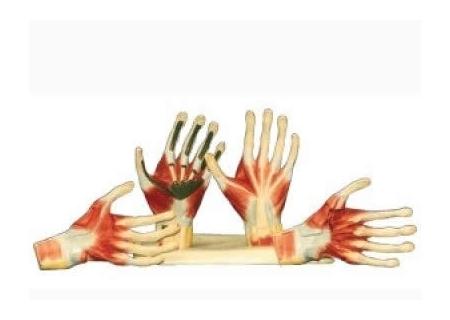 手掌骨骼结构图